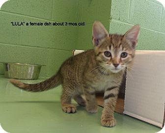 Domestic Shorthair Kitten for adoption in Gadsden, Alabama - Lula