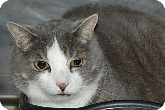 Domestic Shorthair Cat for adoption in Elyria, Ohio - Muffin