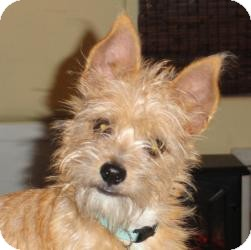 Silky Terrier/Yorkie, Yorkshire Terrier Mix Dog for adoption in Santa Ana, California - BB