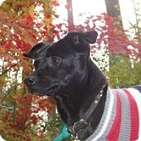 Adopt A Pet :: Loving little Dino - Baltimore, MD