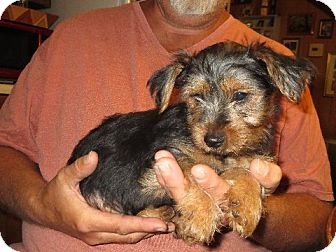 Yorkie, Yorkshire Terrier Puppy for adoption in Allentown, Pennsylvania - Spencer