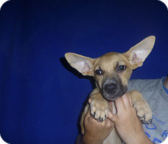 German Shepherd Dog/Labrador Retriever Mix Puppy for adoption in Oviedo, Florida - Piper