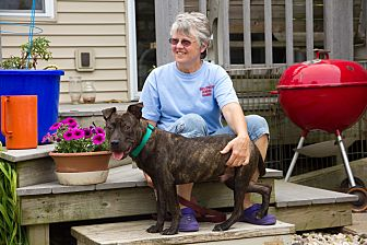 french bulldog rescue wi madison wi american staffordshire terrier french 7621