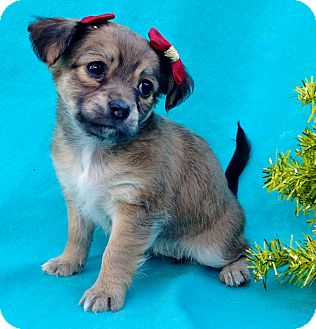 Terrier (Unknown Type, Small)/Pomeranian Mix Puppy for adoption in Irvine, California - Joy