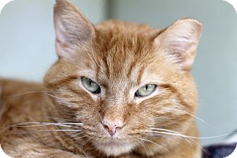 Domestic Shorthair Cat for adoption in Chicago, Illinois - Woodrow Whiskers