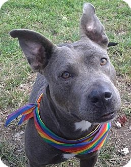 American Staffordshire Terrier/American Pit Bull Terrier Mix Dog for adoption in Pompano Beach, Florida - Mama Blue