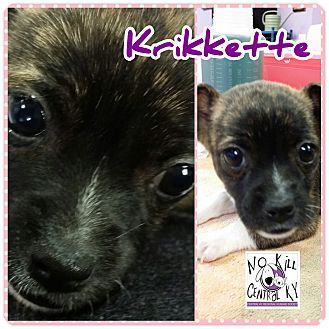 Chihuahua/Boston Terrier Mix Puppy for adoption in Lancaster, Kentucky - Krikkette