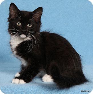 Domestic Longhair Cat for adoption in Las Vegas, Nevada - Graphite