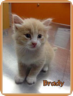 Domestic Mediumhair Kitten for adoption in Lincoln, Nebraska - BRADY