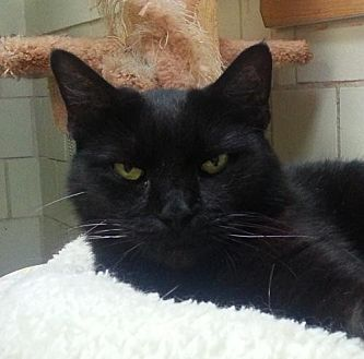 Domestic Shorthair Cat for adoption in Lago Vista, Texas - Ash