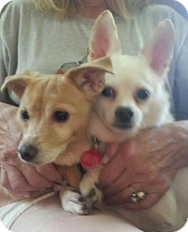 Chihuahua Mix Dog for adoption in Brimfield, Massachusetts - Daisy & Shelby