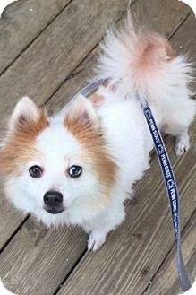 Pomeranian Dog for adoption in South Park, Pennsylvania - Scout
