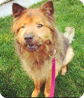 Chow Chow/Terrier (Unknown Type, Medium) Mix Dog for adoption in Oak Park, Illinois - Cecil