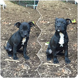 American Staffordshire Terrier Mix Puppy for adoption in Covington, Washington - Puppy 6-adopted!