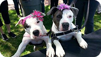Pit Bull Terrier Dog for adoption in Point Pleasant, Pennsylvania - TWIDDLE-PENDING