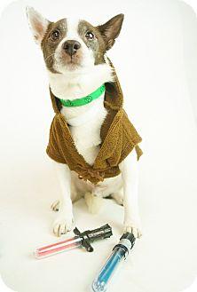 Jack Russell Terrier/Corgi Mix Dog for adoption in Phoenix, Arizona - Walter