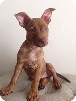 Shepherd (Unknown Type) Mix Puppy for adoption in Los Angeles, California - Squirrel