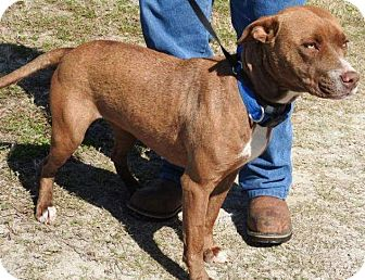 American Staffordshire Terrier Mix Dog for adoption in Jacksonville, Florida - April