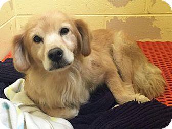 Golden Retriever Mix Dog for adoption in BIRMINGHAM, Alabama - Haley
