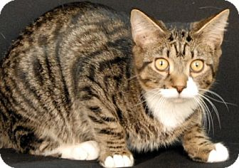 Domestic Shorthair Cat for adoption in Newland, North Carolina - Mittens