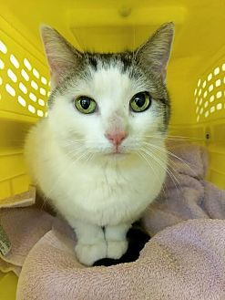 Domestic Shorthair Cat for adoption in Palo Cedro, California - Lilly