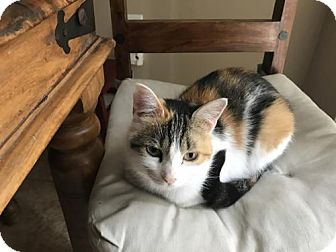 Domestic Shorthair Cat for adoption in Blackstock, Ontario - Lil