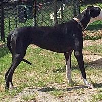 Adopt A Pet :: Athena - Manassas, VA