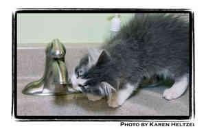 Domestic Longhair Kitten for adoption in Warren, Pennsylvania - Randy