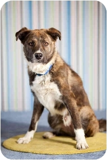 Husky/Australian Shepherd Mix Dog for adoption in Portland, Oregon - Trey