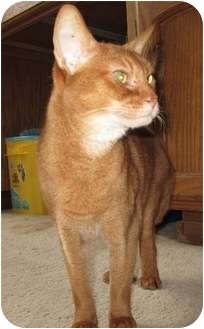 Abyssinian Cat for adoption in Davis, California - Ali