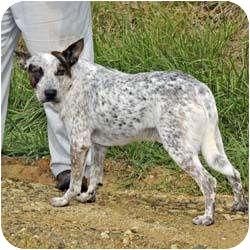 Australian Cattle Dog Dog for adoption in Blairsville, Georgia - Riley