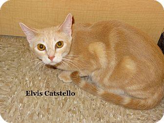 Domestic Shorthair Cat for adoption in Bentonville, Arkansas - Elvis