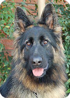 German Shepherd Dog Dog for adoption in Los Angeles, California - Sasha von Marin
