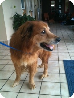 Golden Retriever Mix Dog for adoption in Foster, Rhode Island - Erwin