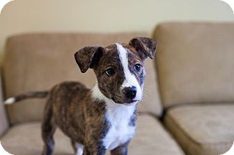 Catahoula Leopard Dog Mix Puppy for adoption in Philadelphia, Pennsylvania - Peanuts