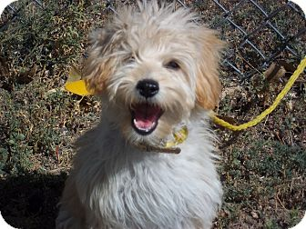 Terrier (Unknown Type, Small)/Poodle (Miniature) Mix Puppy for adoption in Sterling, Colorado - Macy