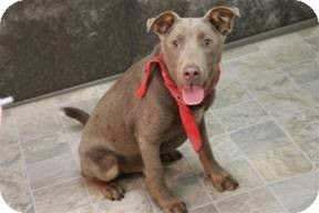 Retriever (Unknown Type) Mix Puppy for adoption in Greenville, South Carolina - Rupert