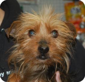 Yorkie, Yorkshire Terrier Mix Dog for adoption in Brooklyn, New York - Mason