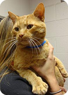 Domestic Shorthair Cat for adoption in Marietta, Georgia - TOMMY
