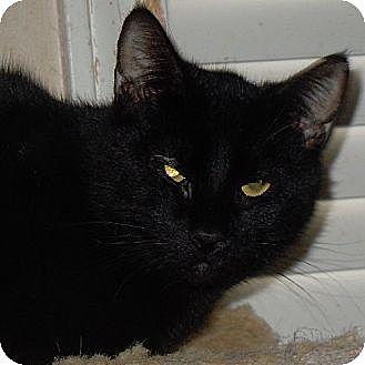 Domestic Shorthair Cat for adoption in Jacksonville, North Carolina - Salem