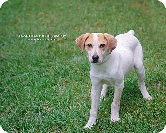 Hound (Unknown Type) Mix Puppy for adoption in Pinehurst, North Carolina - Speckles