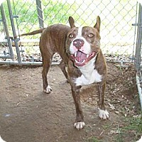 Terrier (Unknown Type, Small) Dog for adoption in Rossville, Tennessee - Pibbles
