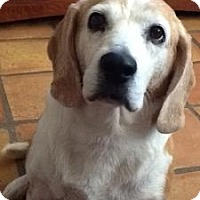 Adopt A Pet :: Snoopyana - Phoenix, AZ
