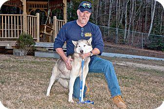 Husky Mix Dog for adoption in Cashiers, North Carolina - Nanook