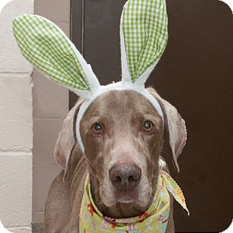 Weimaraner Dog for adoption in Troy, Ohio - Magnum-Adopted