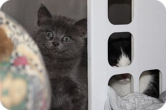 Domestic Shorthair Kitten for adoption in Midland, Michigan - Ventress