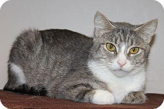 Domestic Shorthair Cat for adoption in Seville, Ohio - Julie