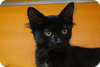 Domestic Mediumhair Kitten for adoption in Elyria, Ohio - Sasha