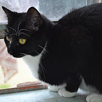 Domestic Shorthair Cat for adoption in Baton Rouge, Louisiana - Ariel