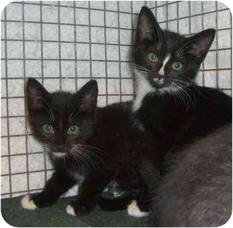 Domestic Shorthair Kitten for adoption in Randolph, New Jersey - Semus and Shirley